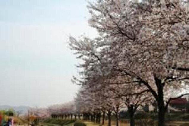 【桜・見ごろ】越路河川公園