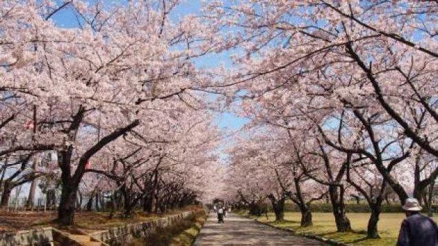 宮野山桜まつり