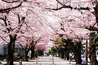 十和田市官庁街通り(駒街道)の桜