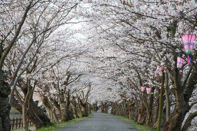 立岡自然公園の桜