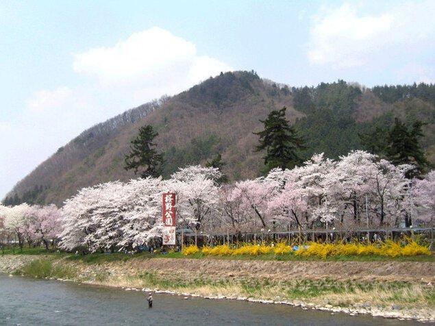 【桜・見ごろ】桜野公園