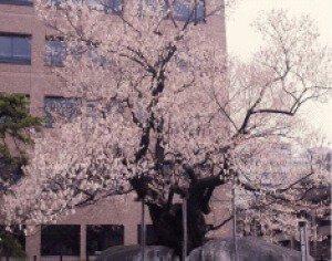 【桜・見ごろ】石割桜