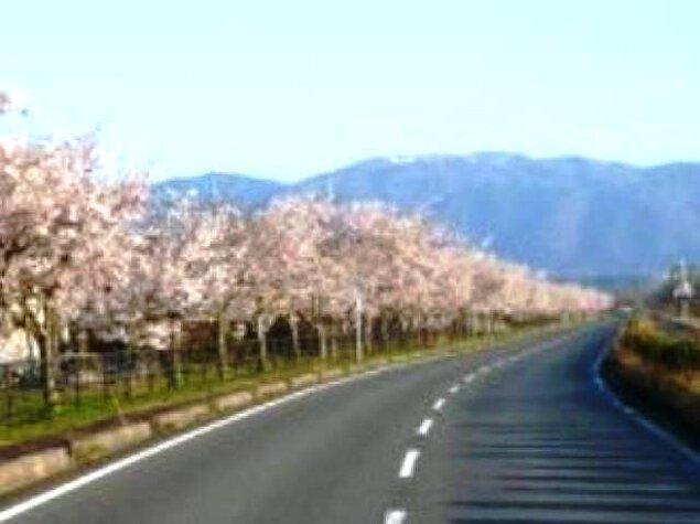 【桜・見ごろ】風車街道