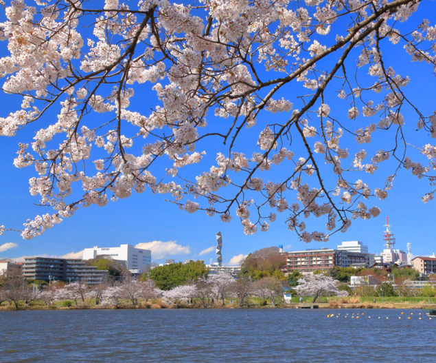 【桜・見ごろ】千波湖
