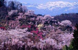 【2020年花見不可】花見山の桜