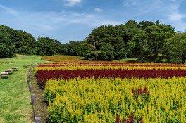 【花・見ごろ】国営武蔵丘陵森林公園 ケイトウ