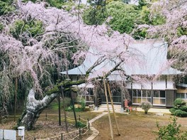 福星寺のしだれ桜