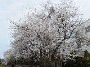 【桜・見ごろ】桜の小道(秋田県小坂町)