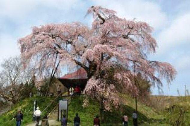 【桜・見ごろ】上石の不動ザクラ