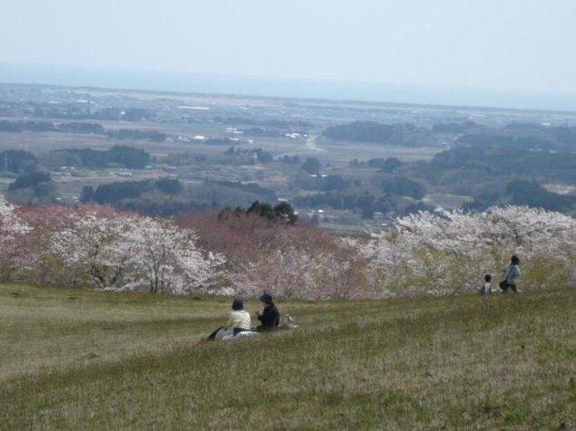 【桜・見ごろ】県立自然公園 旭山