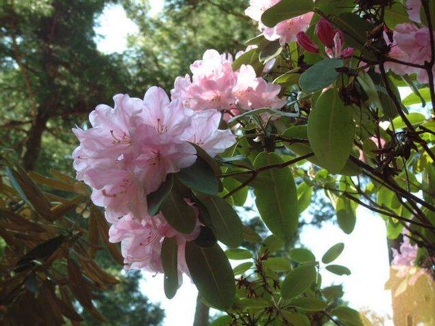 【花・見ごろ】天城グリーンガーデン 石楠花