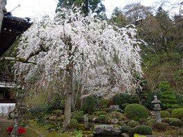 【拝観休止】玉川寺の桜