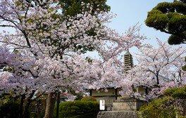 帯解寺の桜