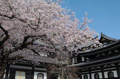 長谷寺の桜(神奈川県)