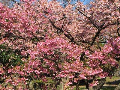 住之江公園の桜