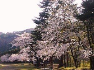 【桜・見ごろ】湯瀬渓谷 大地平