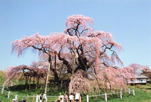 【桜・見ごろ】三春町