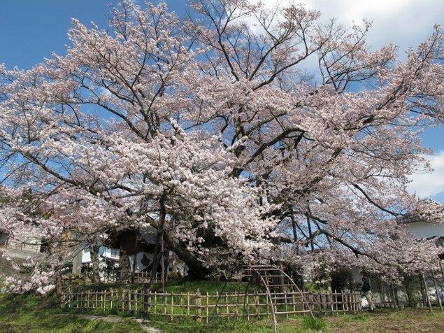 【桜・見ごろ】素桜神社の神代桜