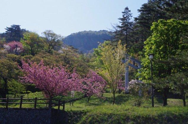 【桜・見ごろ】船上山万本桜公園