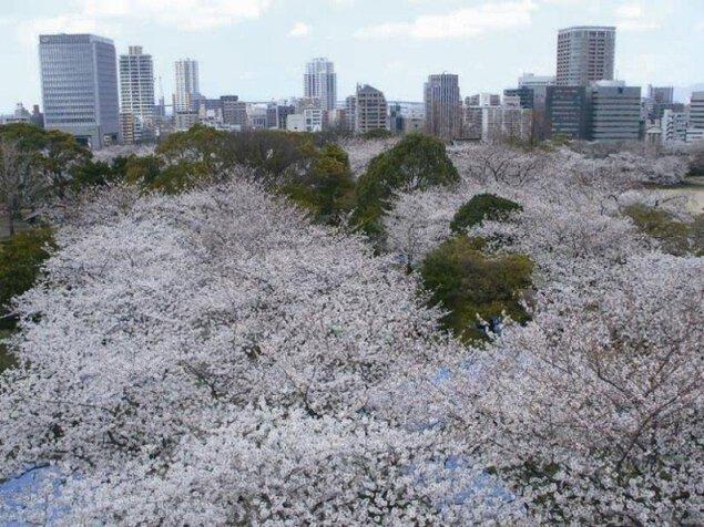 【桜・見ごろ】福岡舞鶴公園
