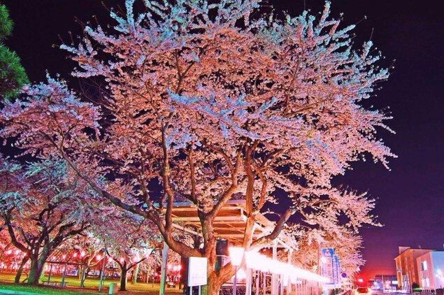 三沢市中央公園 桜のライトアップ