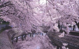 大江川緑道の桜