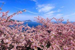 四浦半島の桜