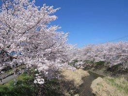 柏原川の桜堤の桜