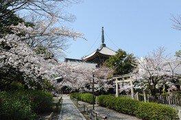 本法寺の桜
