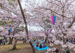 向山緑地の桜