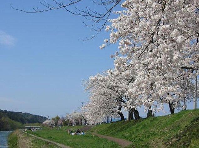 【桜・見ごろ】米代川河川敷桜並木(鹿角市)