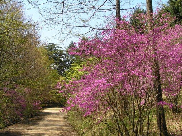 神戸市立森林植物園 新緑 つつじ・しゃくなげ散策