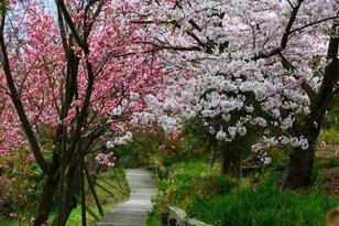 【桜・見ごろ】四国村