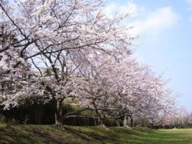 【桜・見ごろ】大房岬自然公園