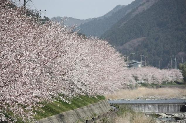 【桜・見ごろ】西深の桜並木