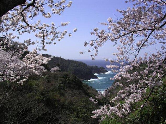 【桜・見ごろ】チェリーロード