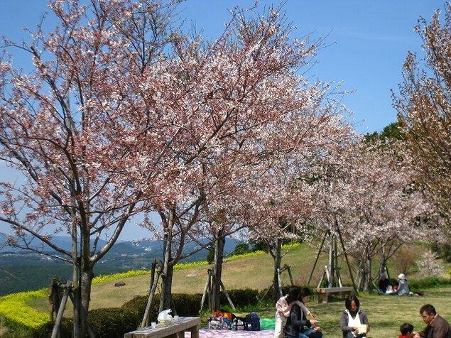 【桜・見ごろ】琴平スカイパーク