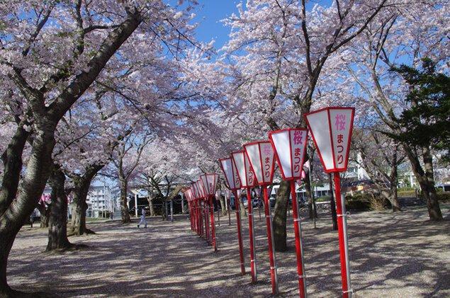 【桜・見ごろ】三沢市中央公園