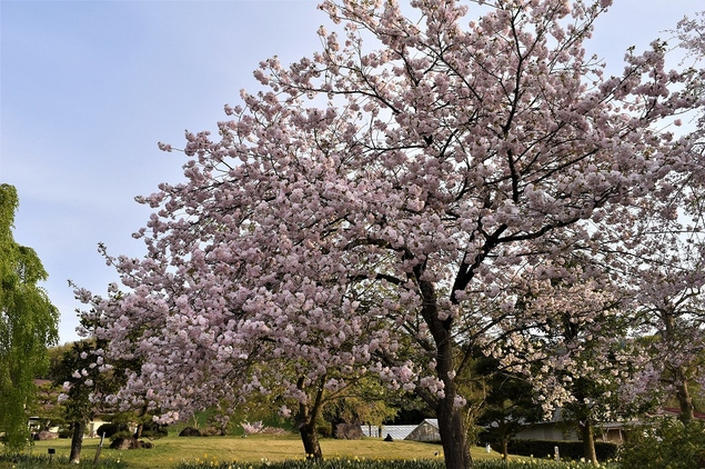 京都府・緑化センターの桜