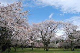 千葉市昭和の森の桜