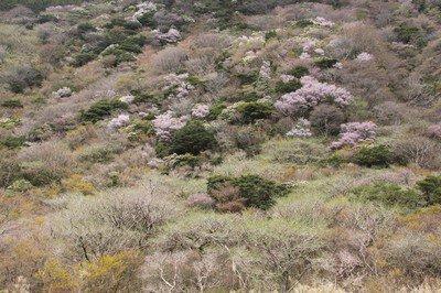 箱根 芦ノ湖の桜