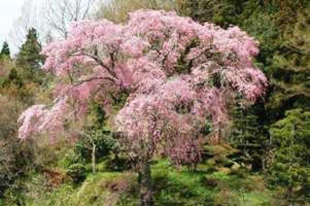 【桜・見ごろ】忠七桜