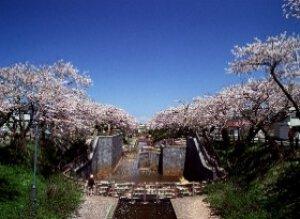 【桜・見ごろ】あらやさくら公園