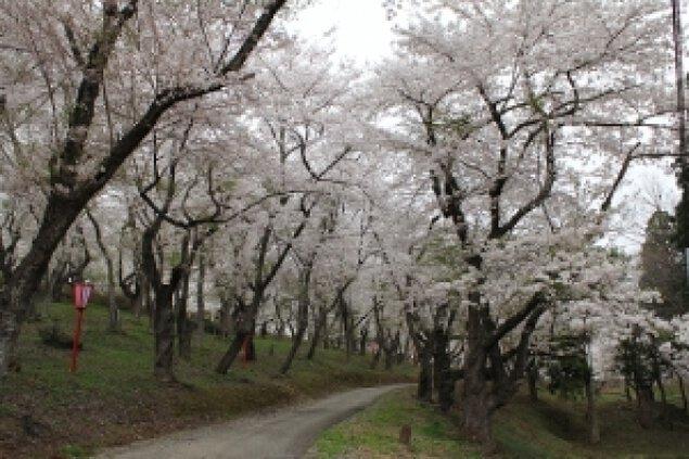 【桜・見ごろ】大森公園