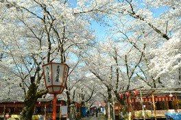 【桜・見ごろ】平野神社