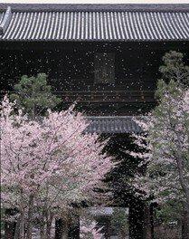 大本山 くろ谷 金戒光明寺の桜