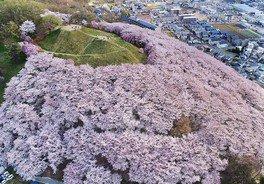 弘法山古墳の桜