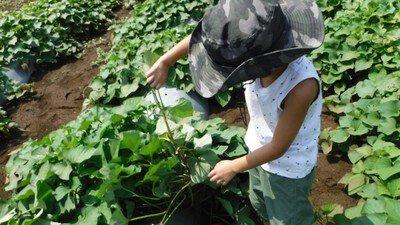 畑から学ぶ3回セット ~さつまいもの植付から収穫まで~