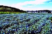 【開催中止】くりはま花の国「ポピーまつり2020」