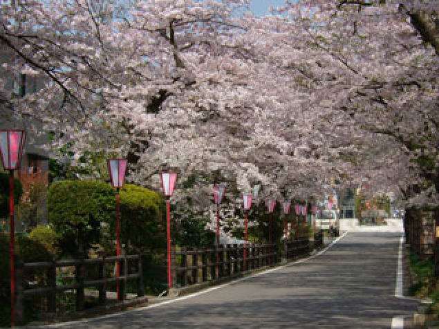 【桜・見ごろ】岳温泉(桜坂)